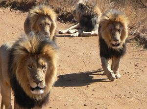 air+lions